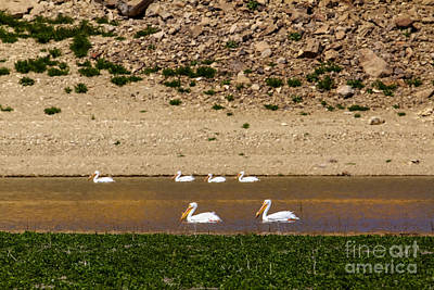 Photograph - American White Pelicans by Robert Bales