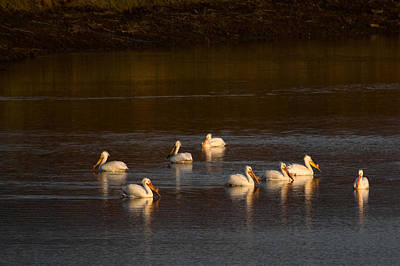 Photograph - American White Pelicans by Steve Stuller