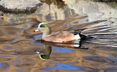 American Wigeon Art Print by Donna Kennedy