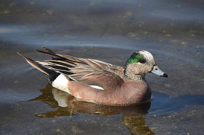 Photograph - American Wigeon by James Petersen