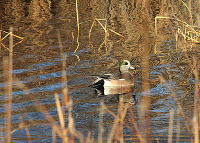 Mark Wagner Wall Art - Photograph - American Wigeon by Mark Wagner