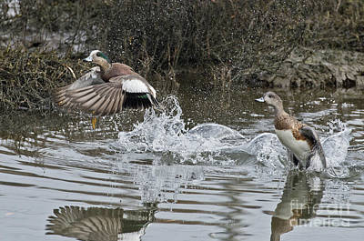 Two Ducks In Flight Photograph - American Wigeon Pair by Anthony Mercieca