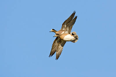 Photograph - American Wigeon Pair In Flight by Craig K. Lorenz
