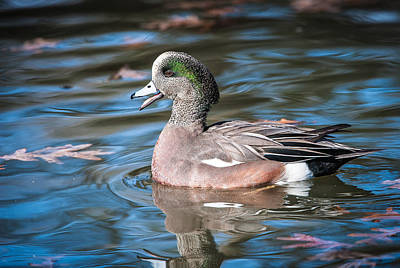 Photograph - American Wigeon by Tyson and Kathy Smith