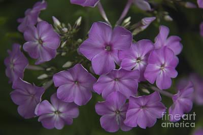 Phlox Paniculata Photograph - Amethyst Phlox by Teresa Mucha