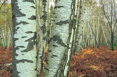 Photograph - Amidst The Birches - Marion Brooks Natural Area by Joel E Blyler