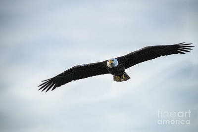 Photograph - Amierican Bald Eagle Flying In Low Looking For Food by Dan Friend