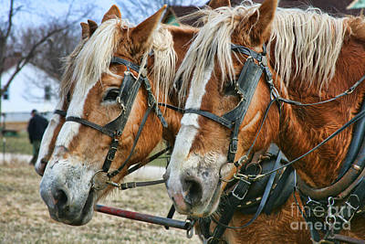 Photograph - Amish Plow Horses by Crystal Nederman
