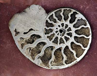 Ammonite Art Print by Dirk Wiersma
