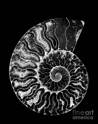 Shell Photograph - Ammonite Fossil by Mimi Ditchie