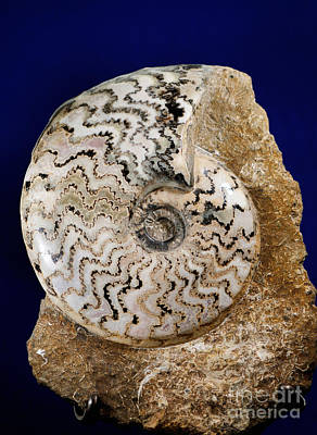 Photograph - Ammonite Fossil by Scott Camazine