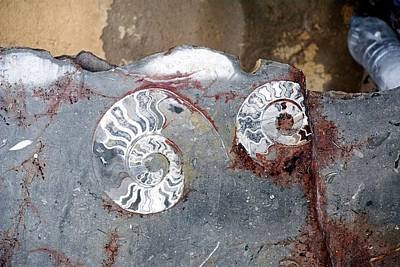 Ammonite Fossil Stone Art Print by Photostock-israel