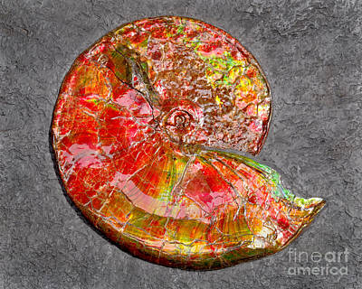 Ammolite Photograph - Ammonite In Matrix by Douglas Taylor