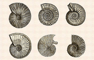 Photograph - Ammonites by Phil Cardamone