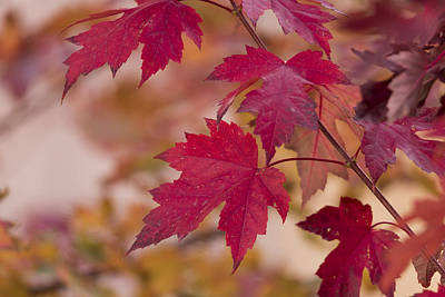 Maple Season Photograph - Among Maples by Chad Dutson
