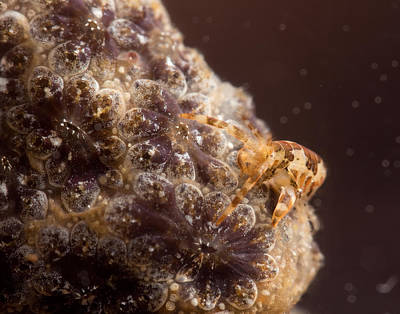 Amphipod On Botryllus Art Print by Brian Magnier