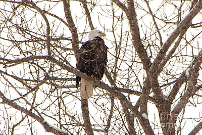 Photograph - Amreican Eagle In Winter by Grace Grogan