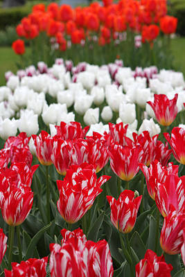 Photograph - Amsterdam Tulips by Juergen Roth