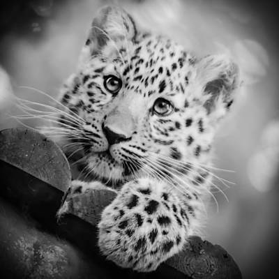 Amur Leopard Cub Portrait Art Print by Chris Boulton