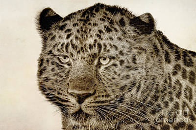 Animals Digital Art - Amur Leopard by John Edwards