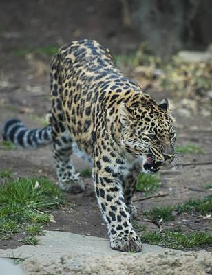 Amur Leopard Art Print by Phil Abrams