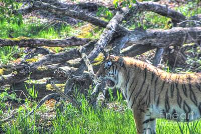 Amur Tiger 3 Art Print by Jimmy Ostgard