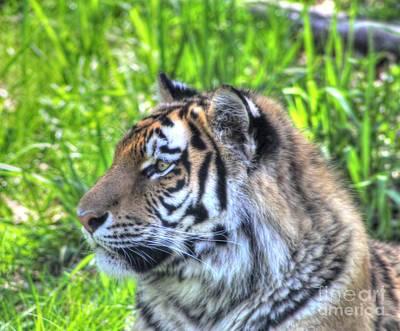 Amur Tiger 7 Art Print