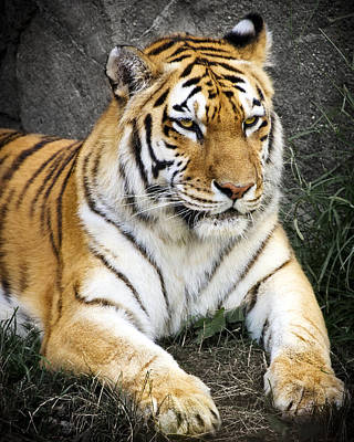 Panthera Photograph - Amur Tiger by Adam Romanowicz