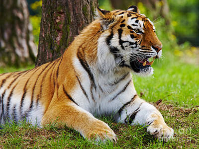 Photograph - Amur Tiger by Nick  Biemans
