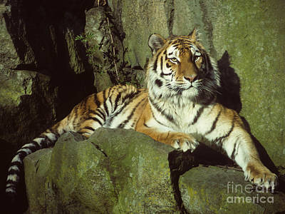 Photograph - Amur Tiger by Phil Banks