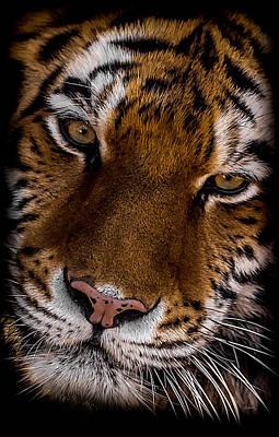 Amur Tiger Portrait Art Print by Ernie Echols