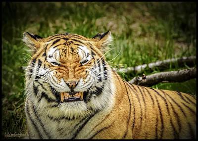 Amur Tiger Smile Art Print by LeeAnn McLaneGoetz McLaneGoetzStudioLLCcom