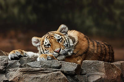 Photograph - Amur Tiger Twin by Theo OConnor
