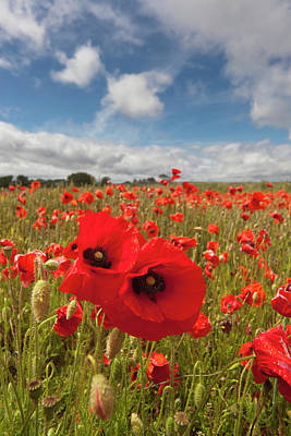 An Abundance Of Red Poppies In A Field Art Print by John Short