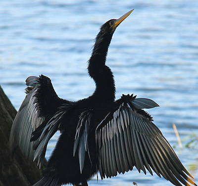 Photograph - An Air-dried Anhinga by Denise Mazzocco