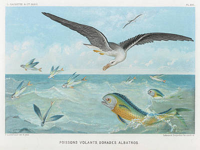 Albatross Drawing - An Albatross At Sea Preying On  Flying by Mary Evans Picture Library