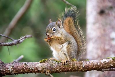 Photograph - An American Red Squirrel, Tamiasciurus by Robbie George