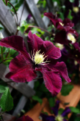 Photograph - An Amethyst Colored Clematis by Kay Novy