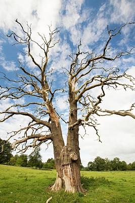 Vale Photograph - An Ancient Dead Tree by Ashley Cooper