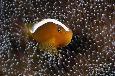 Clown Fish Photograph - An Anemonefish In Its Anemone by Matthew Oldfield