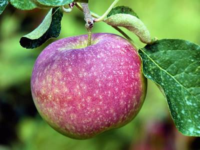 Photograph - An Apple A Day by Janice Drew