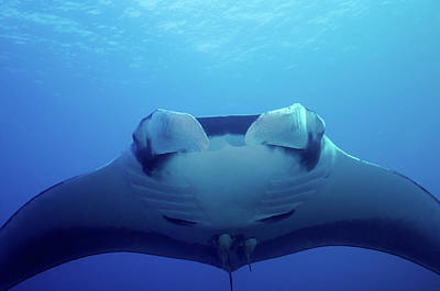 Target Threshold Photography - An Approaching Oceanic Manta Ray At San by Brent Barnes