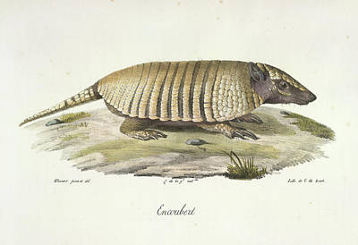 Armadillo Photograph - An Armadillo by British Library