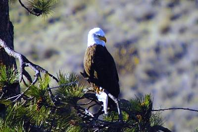 Pine Needles Photograph - An Eagle In The Sun by Jeff Swan