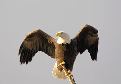 Birds Rights Managed Images - An Eagle Posing  Royalty-Free Image by Jeff Swan