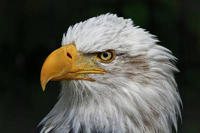 Photograph - An Eagle's Portrait D2686 by Wes and Dotty Weber