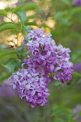 Photograph - Elegance - Soft Lilac Flowers by Jane Eleanor Nicholas