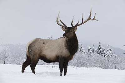 Looking Away From Camera Photograph - An Elk Cervus Canadensis Standing by Doug Lindstrand