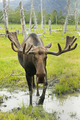 An Elk Standing In A Puddle Of Water Art Print by Doug Lindstrand