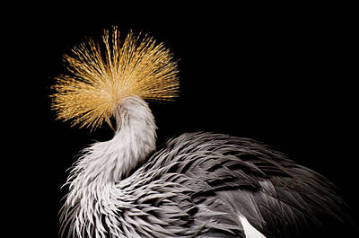 Rare Bird Photograph - An Endangered East African Crowned by Joel Sartore